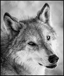 grey wolf animals black white pixoto