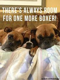 boxer dog sayings 6263 best i love love love boxers images on pinterest boxer