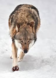 449 best wolves wilki images on pinterest animal paintings
