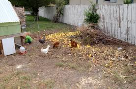 Chickens For Backyards by Backyard Chickens All Cooped Up Bless This Mess