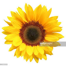 sunflower pictures sunflower stock photos and pictures getty images