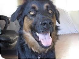 australian shepherd utah rescue shep adopted dog roosevelt ut australian shepherd doberman