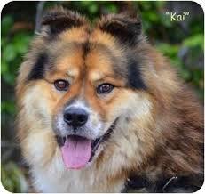 8 month australian shepherd kai adopted dog a1337398 vista ca chow chow australian