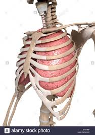 rib cage anatomy atypical ribs human lungs with ribcage high