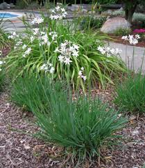 photo of the entire plant of white flowered society garlic