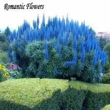 aliexpress buy 50 particle bag blue pas grass seeds