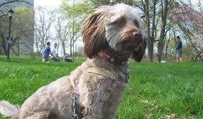 Doxiepoo Dog Breed Information