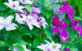 Fragrant Plants For Shade - creeping plants for shade your guide to creeping jenny sunset