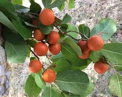 Snake Fruit Tree - snake wood etsy