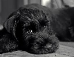 25 black schnauzer ideas miniature dogs