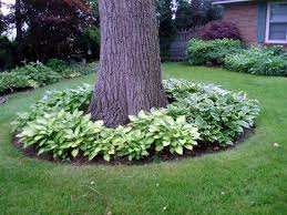 Backyard Gardening Ideas With Pictures Hostas Around Trees And Hostas Around My 2 Backyard Trees