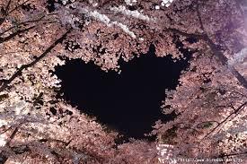 cherry blossom pics cherry blossoms information in aomori 2018 aptinet aomori