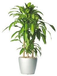 18 best large indoor plants tall houseplants for home and