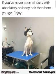 Funny Husky Memes - funny husky memes 100 images 24 best husky memes images on