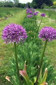 allium gigantea is actually an ornamental garlic flower l allium