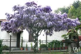 albero giardino come si crea un albero di glicine in giardino fiori e foglie