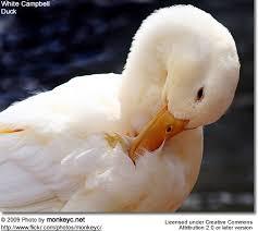 domesticated ducks of birds