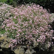 baby s breath baby s breath seeds annual pink