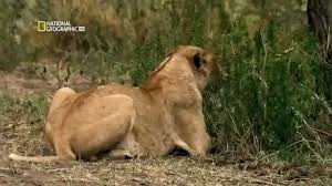 nat geo wild lions eat eeverything national geographic