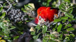 native plants hawaii the u0027i u0027iwi a besieged hawaiian forest bird is now listed as