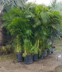 sylvester palm tree price how to care for your areca palm tree hedges in florida