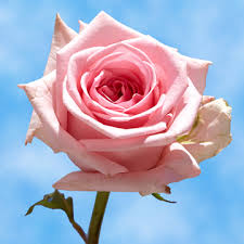 global roses choose your quantity of roses global