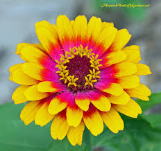 Zinnias Flowers Butterfly Plants List Butterfly Flowers And Host Plant Ideas