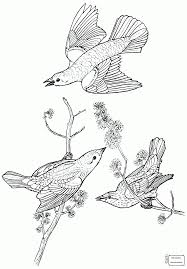 coloring pages for kids common blackbird birds colorpages7 com