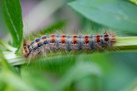 gypsy moth caterpillars ate a third of the massachusetts forest canopy