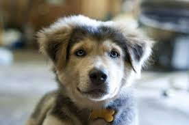 australian shepherd lab mix for sale what do you get when a husky and an australian shepherd reproduce