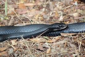 snakes outdoor alabama