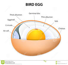 bird egg structure stock vector image 48513377