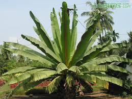 indiaplants plant details