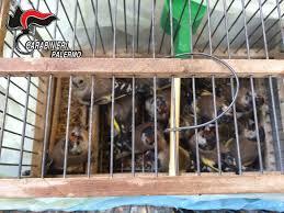 uccelli in gabbia uccelli di specie protetta in gabbia scatta una denuncia a ballar祺