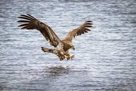 bird predator flight wings water river attack fishing eagle