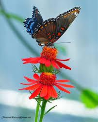 131 best butterflies on flowers images on pinterest butterflies