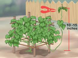 Spanish Flag Vine How To Grow A Choko Vine 12 Steps With Pictures Wikihow
