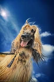 afghan hound grooming styles 1132 best afghan hound images on pinterest afghans afghan hound
