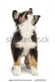 2 month old australian shepherd australian shepherd puppy stock images royalty free images