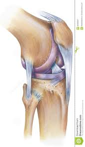 Anterior Fibular Ligament Knee Anterolateral View Stock Photo Image 60390357