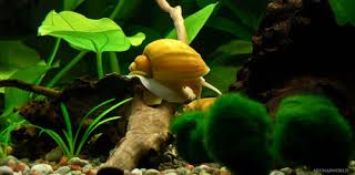 Live Plants In Community Aquariums by Types Of Freshwater Aquarium Snails Ratemyfishtank Com