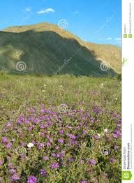 purple flowers bloom in spring near henderson road in anza borrego