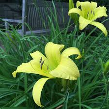 day lilies how to grow daylilies growing daylilies gardener s supply