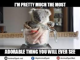 Koala Meme Generator - surprised koala meme generator imgflip on koala meme broxtern