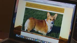 corgi corgi owner says she was scammed by fake online breeder khou com