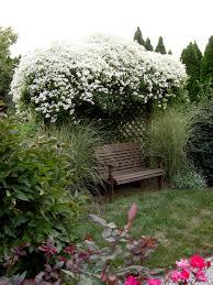 clematis u0027sweet autumn u0027 garden housecalls