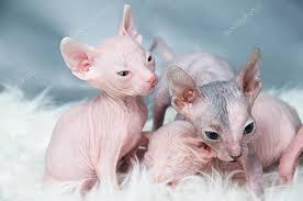 Fabuloso Sphynx gato sem pêlos, gatinho na pele, luz que fixa — Fotografias  #LO04