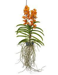 vanda orchids bronze vanda orchidya