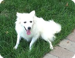 american eskimo dog adoption 885 best adoptables dogs that need a home images on pinterest