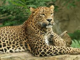 imagenes de animales carnivoros para imprimir animales leopardo